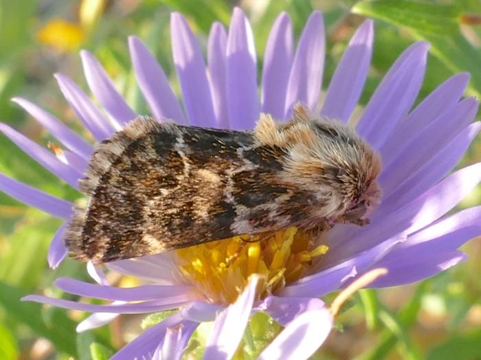 9-18-14 3 flower moths