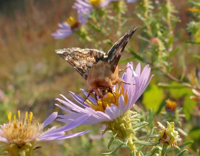 9-18-14 5 flower moths