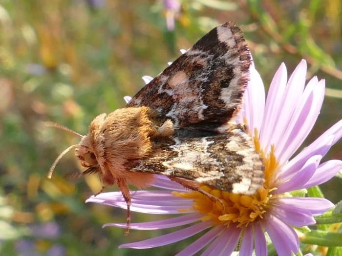 9-18-14 6 flower moths