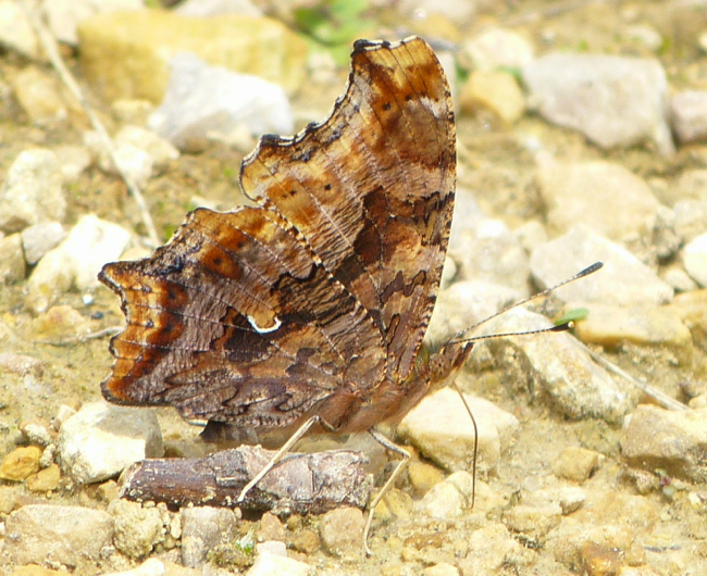 Eastern Comma 6-22-14 1