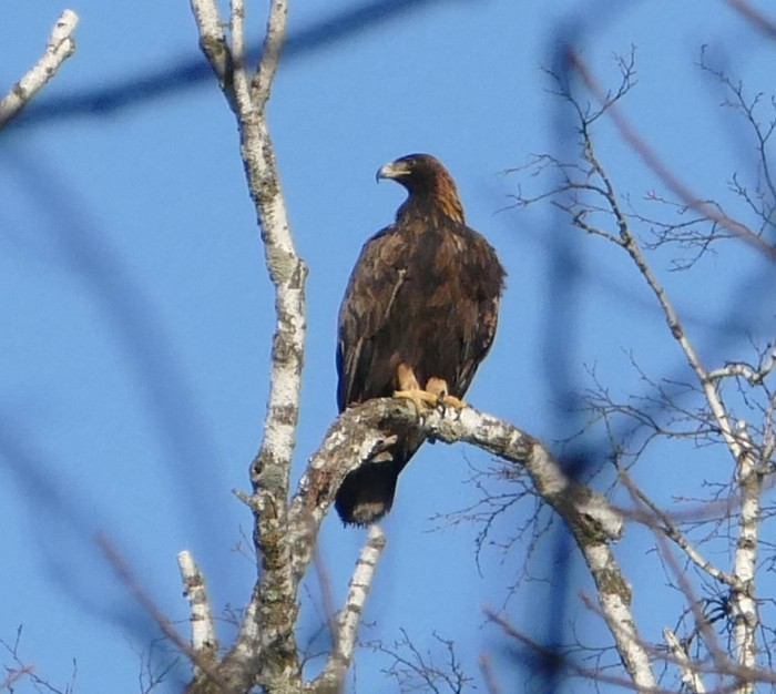 Golden Eagle 11-29-14