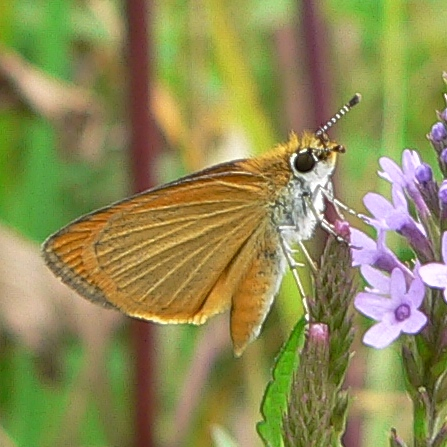 Least Skipper 8-13-06 2
