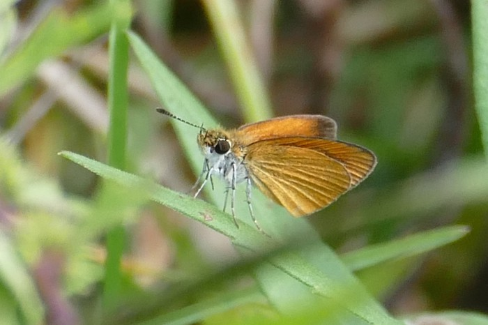 Least Skipper 9-7-14