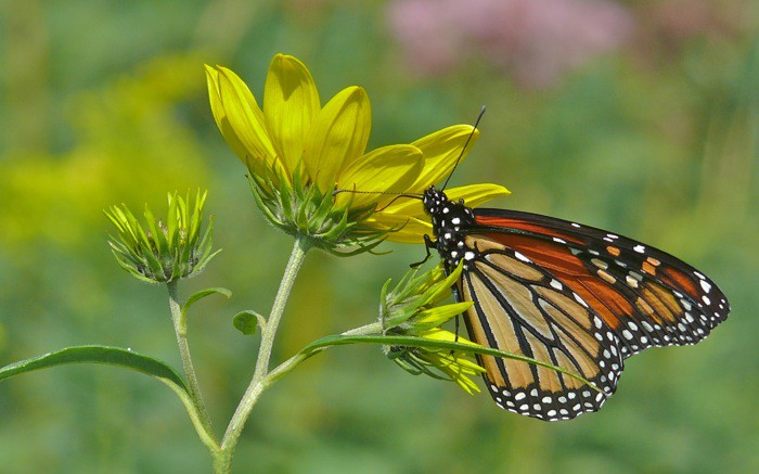 Monarch  9-5-11 1