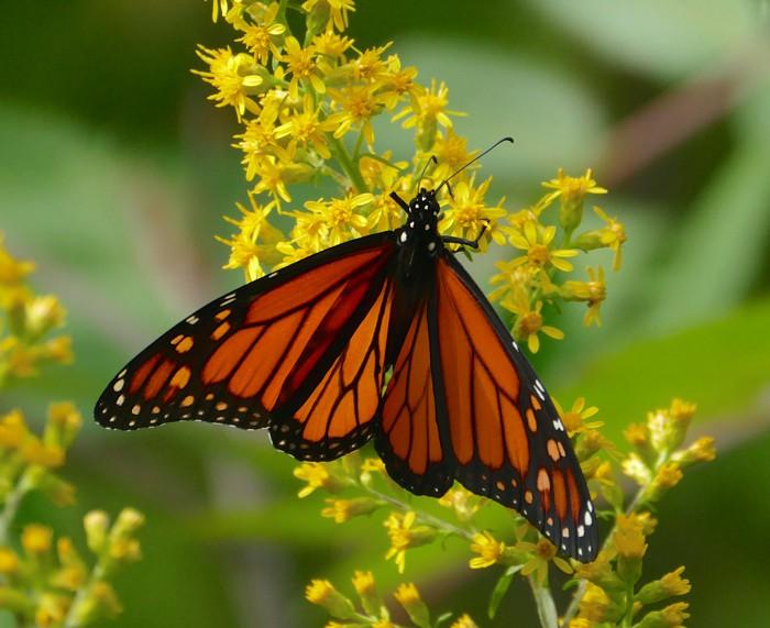 Monarch 9-9-14 2