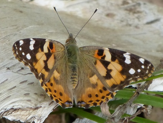 Painted Lady 5-17-12 1