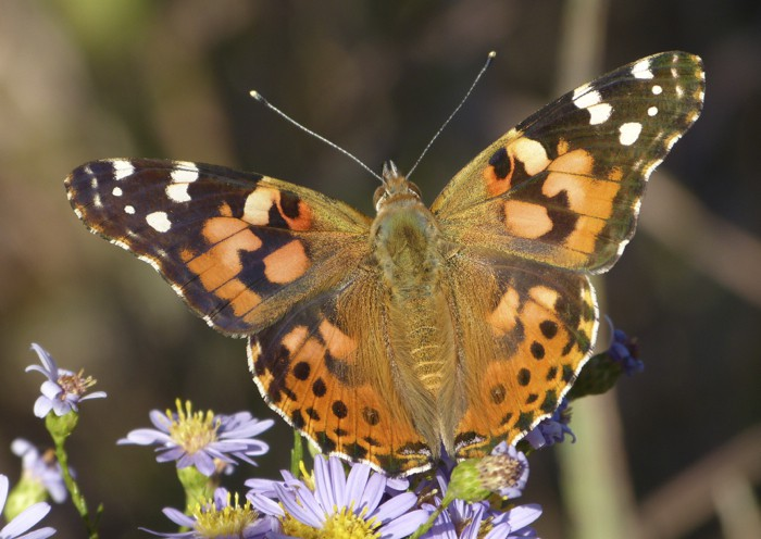 Painted Lady 9-23-12