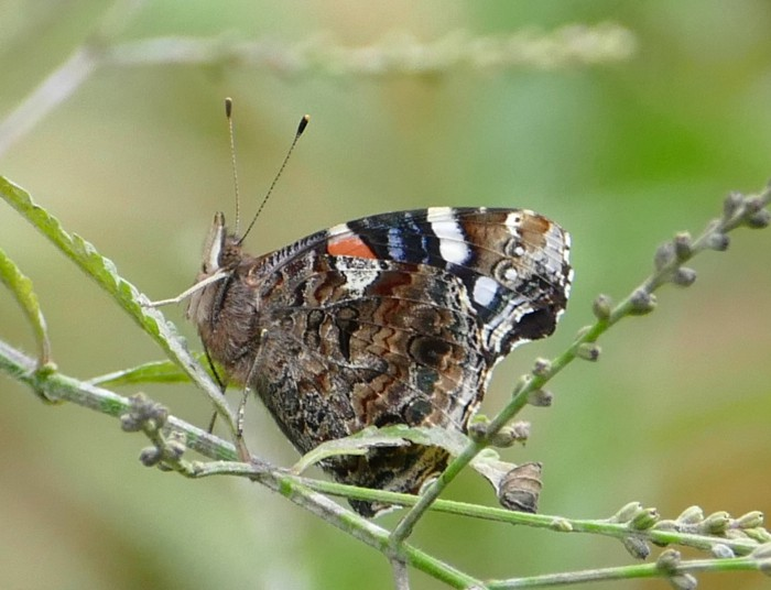 Red Admiral 9-11-14 1