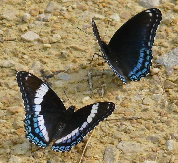 Red-spotted Purple and White Admiral 6-3-2010
