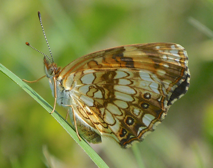 Silvery Checkerspot 6-21-14 1