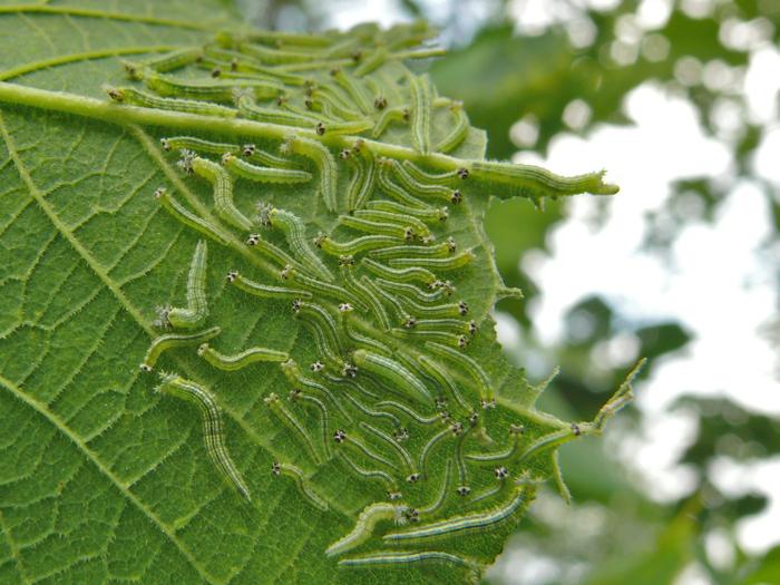 Tawny Emperor caterpillars 8-15-09 1