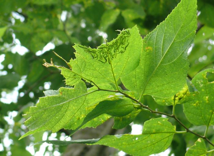 Tawny Emperor caterpillars 8-15-09 2
