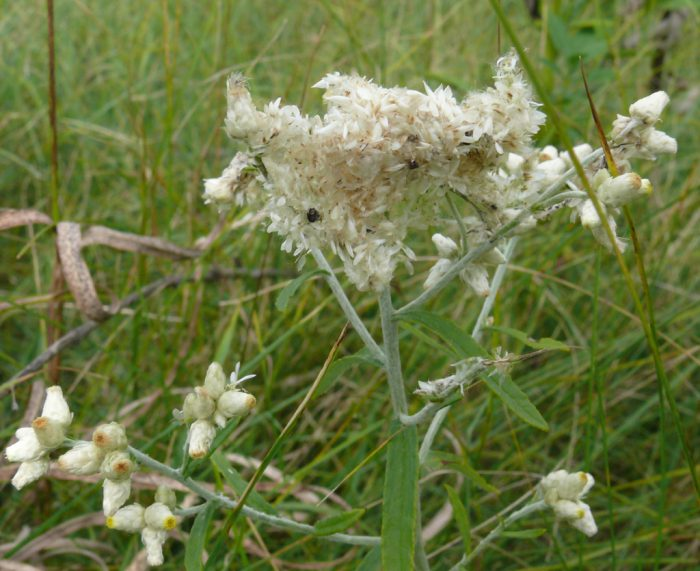 american-lady-caterpillar-nest-9-10-10-2