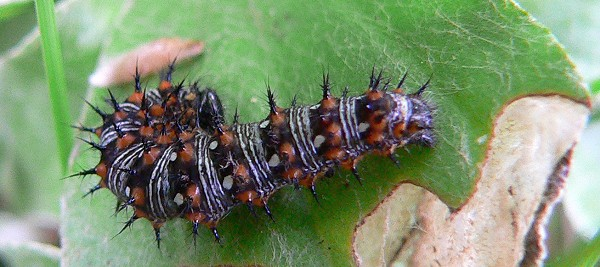 american painted lady caterpillar 6-7-07
