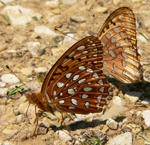 aphrodite fritillary with great spangled