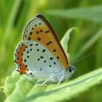 Lycaena hyllus