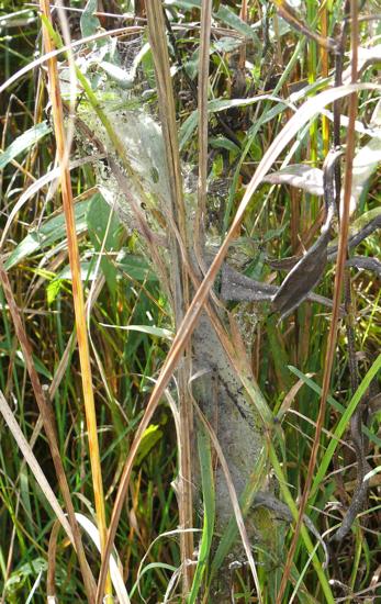 checkerspot nest in grass 9-26-09 1