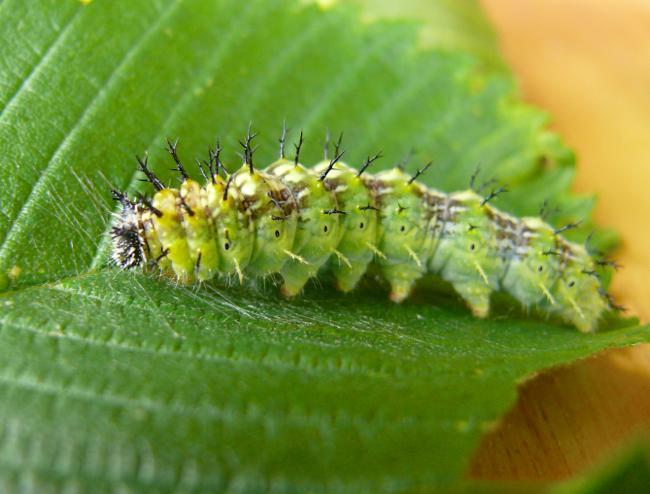 compton tortoiseshell caterpillar 6-10-09 1