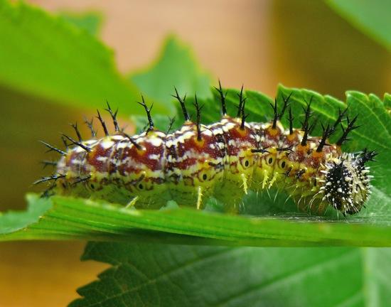 compton tortoiseshell caterpillar 6-7-09 1