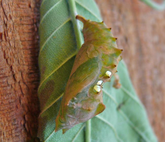 compton tortoiseshell chrysalis 6-15-09 1