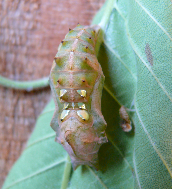 compton tortoiseshell chrysalis 6-15-09 2