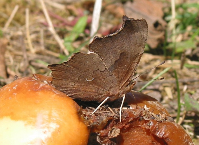 eastern comma 10-4-03