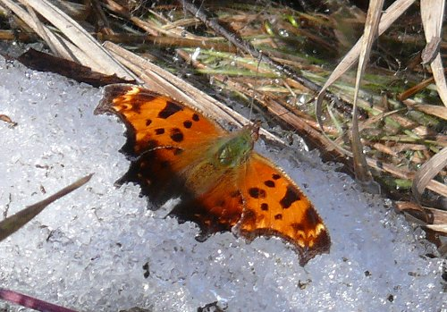 eastern comma 3-16-09