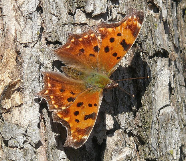 eastern comma 4-14-08