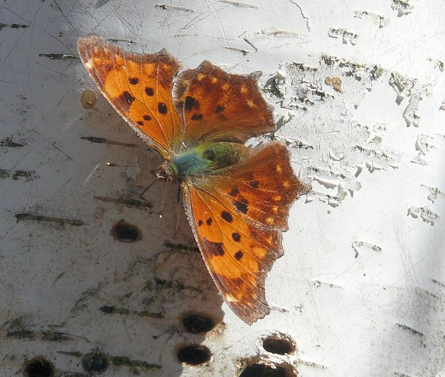 eastern comma 4-16-09 1