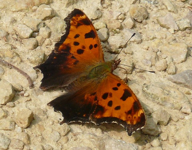 eastern comma 7-6-08 1