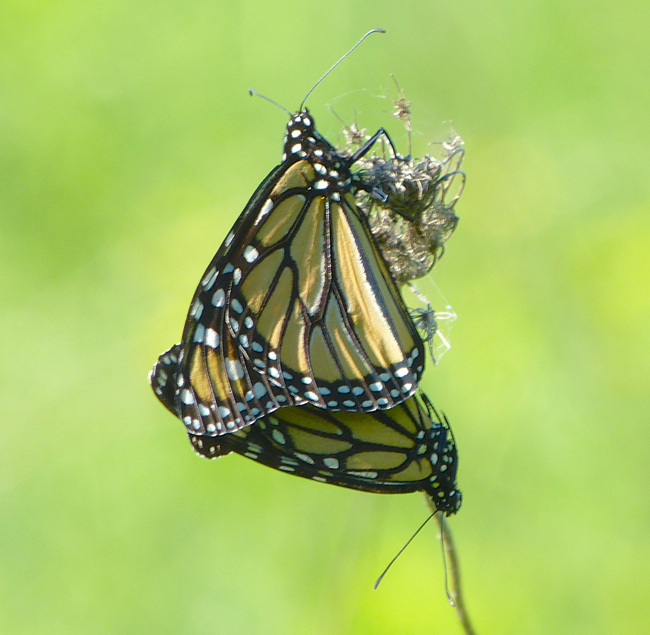 mated monarchs 5-28-14