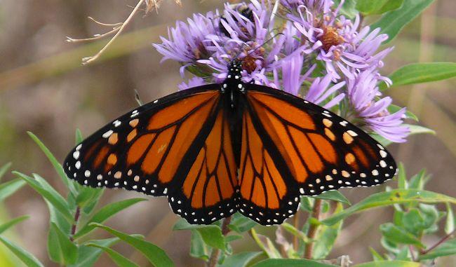 monarch 10-19-08