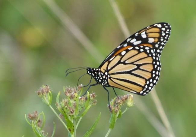 monarch 8-28-13 2