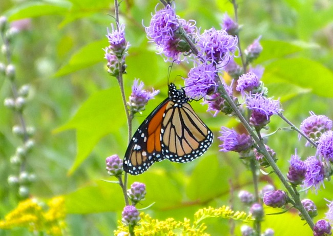monarch 8-28-13