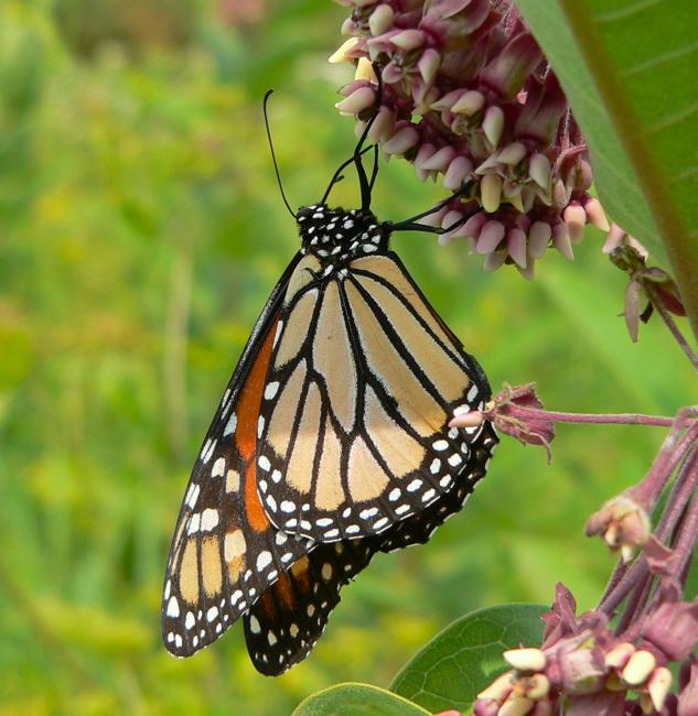 monarch 8-8-05 1