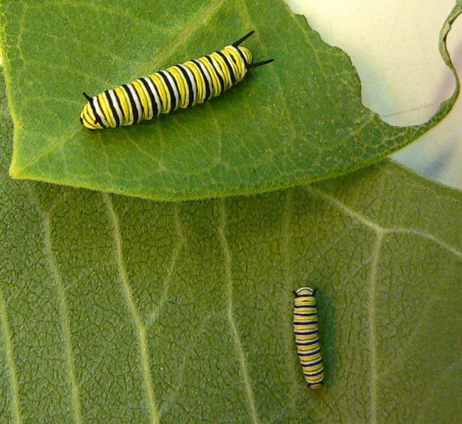 monarch caterpillars 7-21-09 2