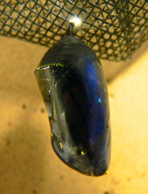 monarch chrysalis 8-10-05 1