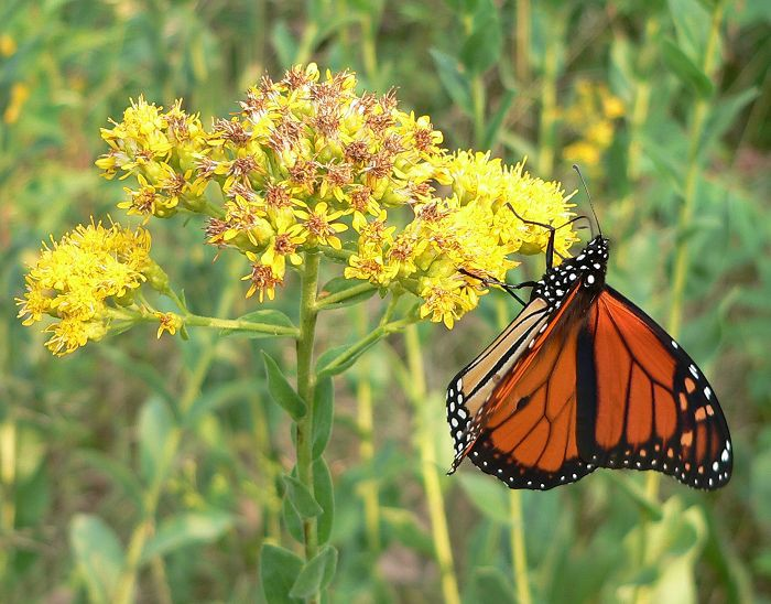 monarch on goldenrod 9-4-05 1