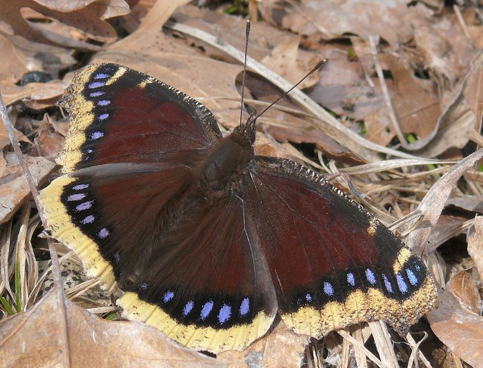 mourning cloak 1 3-17-09