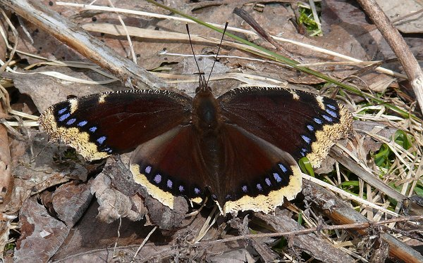 mourning cloak 4-4-08
