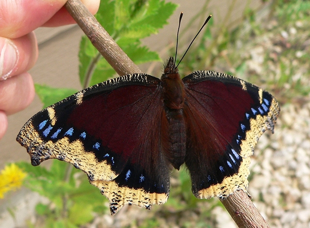 mourning cloak hatched 6-06