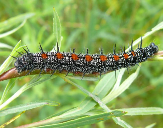 mourning cloak larva 6-16-09 1