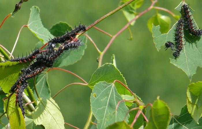 mourning cloak larvae 6-3-10 2