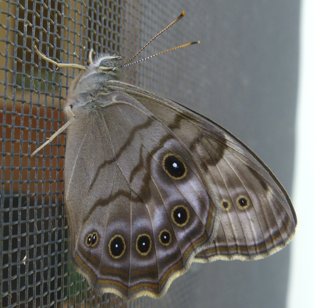 northern pearly eye 6-19-12 1
