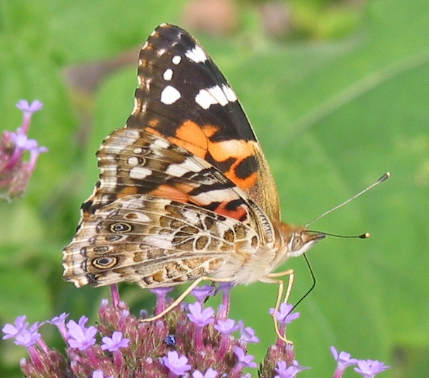 painted lady 2 9-12-03