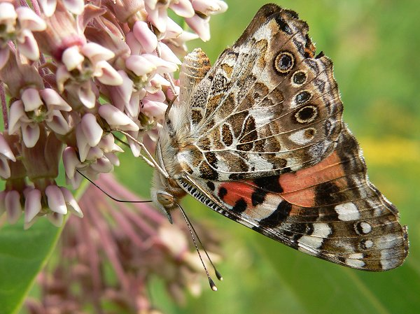 painted lady 8-9-05 1