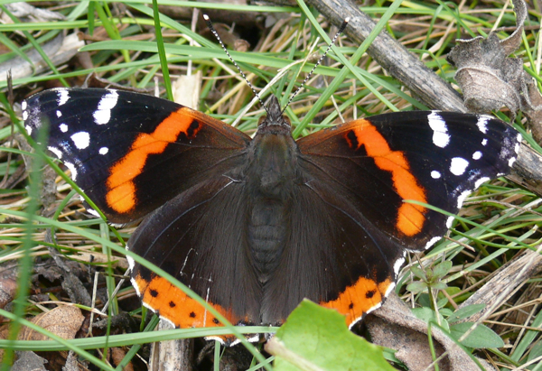 red admiral 10-5-09 1