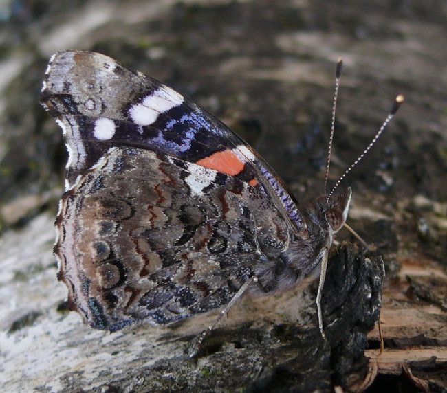 red admiral 4-10-11