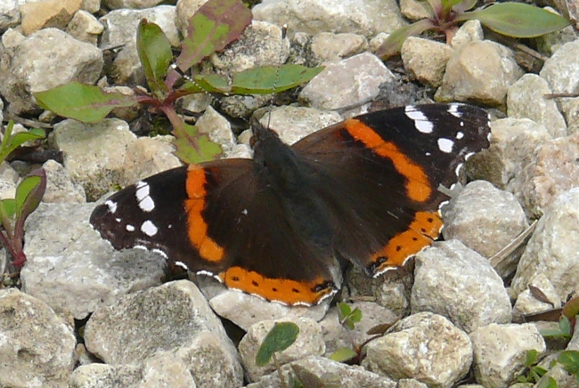 red admiral 5-15-10 1