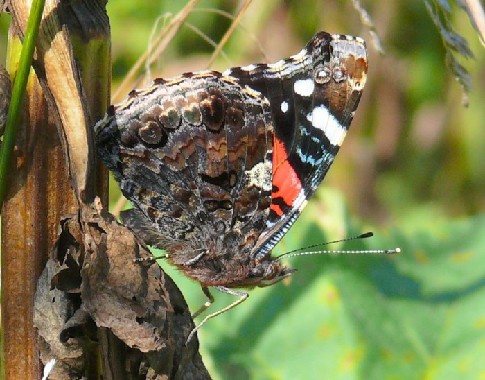 red admiral 8-28-08
